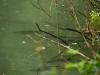 Krapi ob obrežju jezera Strahomer